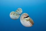 Group of Chambered Nautilus (Nautilus Belauensis)  Micronesia  Palau