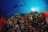Coral Grouper and Reef  Cephalopholis Miniata  Sudan  Africa  Red Sea