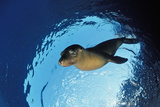 Californian Sea Lion  Zalophus Californianus  Mexico  Sea of Cortez  Baja California  La Paz