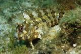 Tompot Blenny (Parablennius Gattorugine)  Croatia  Mediterranean Sea