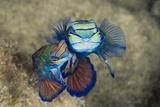 Mating Mandarinfish (Synchiropus Splendidus)  Micronesia  Palau