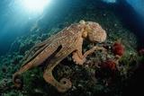 Octopus (Octopus Vulgaris)