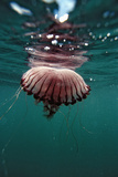 Compass Jellyfish (Chrysaora Hysocella) South Africa