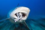 Bull Shark Feeding (Carcharhinus Leucas)  Beqa Lagoon  Viti Levu  Fiji
