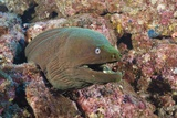 Panamic Green Moray Eel (Gymnothorax Castaneus)