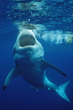 Great White Shark, Carcharodon Carcharias, Mexico, Pacific Ocean, Guadalupe Papier Photo par Reinhard Dirscherl