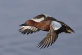 Cinnamon Teal Drake in Flight