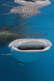 Whale Shark Filter Feeding