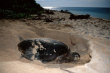 Green Sea Turtle Digging a Nesting Hole on a Beach (Chelonia Mydas)  Pacific Ocean  Borneo