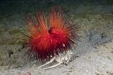 Urchin Crab (Dorippe Frascone) Carrying a Red Sea Urchin (Astropyga Radiata)  Lembeh Strait  North
