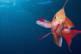 Lytretail Fairy Basslet (Pseudanthias Squamipinnis) Marsa Alam  Red Sea  Egypt