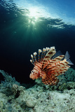 Lionfish or Turkeyfish (Pterois Volitans)  Indonesia