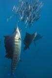 Atlantic Sailfish (Istiophorus Albicans) Hunting Sardines  Isla Mujeres  Yucatan Peninsula  Caribbe