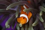 Clown Fish and Blue Anemonie