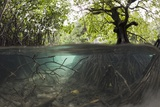 Split Image of Mangroves and their Extensive Underwater Prop Root System