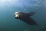 Californian Sea Lion (Zalophus Californianus)