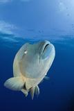 Humpback Wrasse (Cheilinus Undulatus)  Blue Corner  Micronesia  Palau