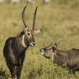 Defassa Waterbuck Pair