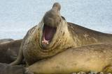 Southern Elephant Seal Bull Calling