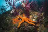 Red Starfish on a Coral Reef (Echinaster Sepositus)  Cap De Creus  Costa Brava  Spain