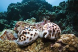 Two Living Tiger Cowries