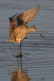 Marbled Godwit with Raised Wings