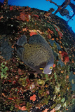 French Angelfish on the Hilma Hooker Ship Wreck