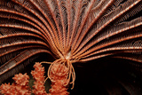 Crevice Crinoid (Comanthus Parvicirrus)  Pacific Ocean  Panglao Island
