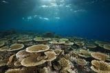 Table Corals (Acropora)
