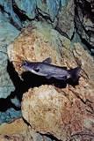 White Catfish (Ameiurus Catus)  Crystal River  Florida  USA