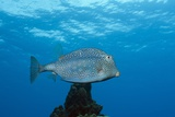 Honeycomb Cowfish (Lactophrys Polygonia)  Cozumel  Caribbean Sea  Mexico