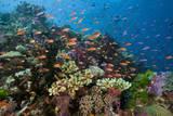 Lyretail Anthias (Pseudanthias Squamipinnis) in Coral Reef