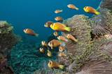 School of Endemic Maldives Anemonefish