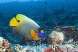 Yellowmask Angelfish (Pomacanthus Xanthometopon)