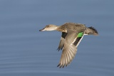 Greeb-Winged Teal Hen in Flight
