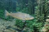 Trout (Salmo Trutta)  Germany