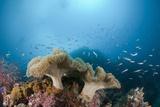 Mushroom Soft Corals (Sarcophyton)  Raja Ampat  West Papua  Indonesia