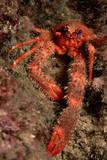 Crab (Galathea Strigosa)
