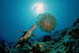 Hawksbill Sea Turtle (Eretmochelys Imbricata) Eating a Jellyfish  Indian Ocean
