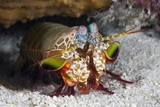Smasher Mantis Shrimp