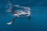 Manta Ray Filter Feeding