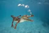 Saltwater Crocodile (Crocodylus Porosus)  Queensland  Australia
