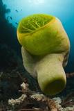 Green Reef Tunicate or Sea Squirt (Didemnum Molle)  Alam Batu  Bali  Indonesia