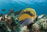 Moustache Triggerfish