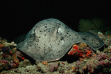 Black-Spotted Stingray (Taeniura Meyeni)