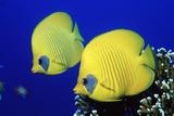 Masked Butterflyfish Egypt  Africa  Red Sea (Chaetodon Semilarvatus)