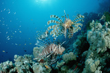 Lionfishes or Turkeyfishes near a Coral Reef (Pterois Volitans)  Indian Ocean