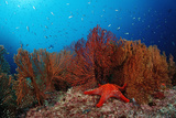 Red Starfish and Coral Reef  Asteroidea  Mexico  Sea of Cortez  Baja California  La Paz