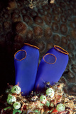 Sea Squirt Tunicates (Ascidia)  Pacific Ocean  Panglao Island