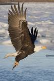 Bald Eagle with Fish in it's Talons